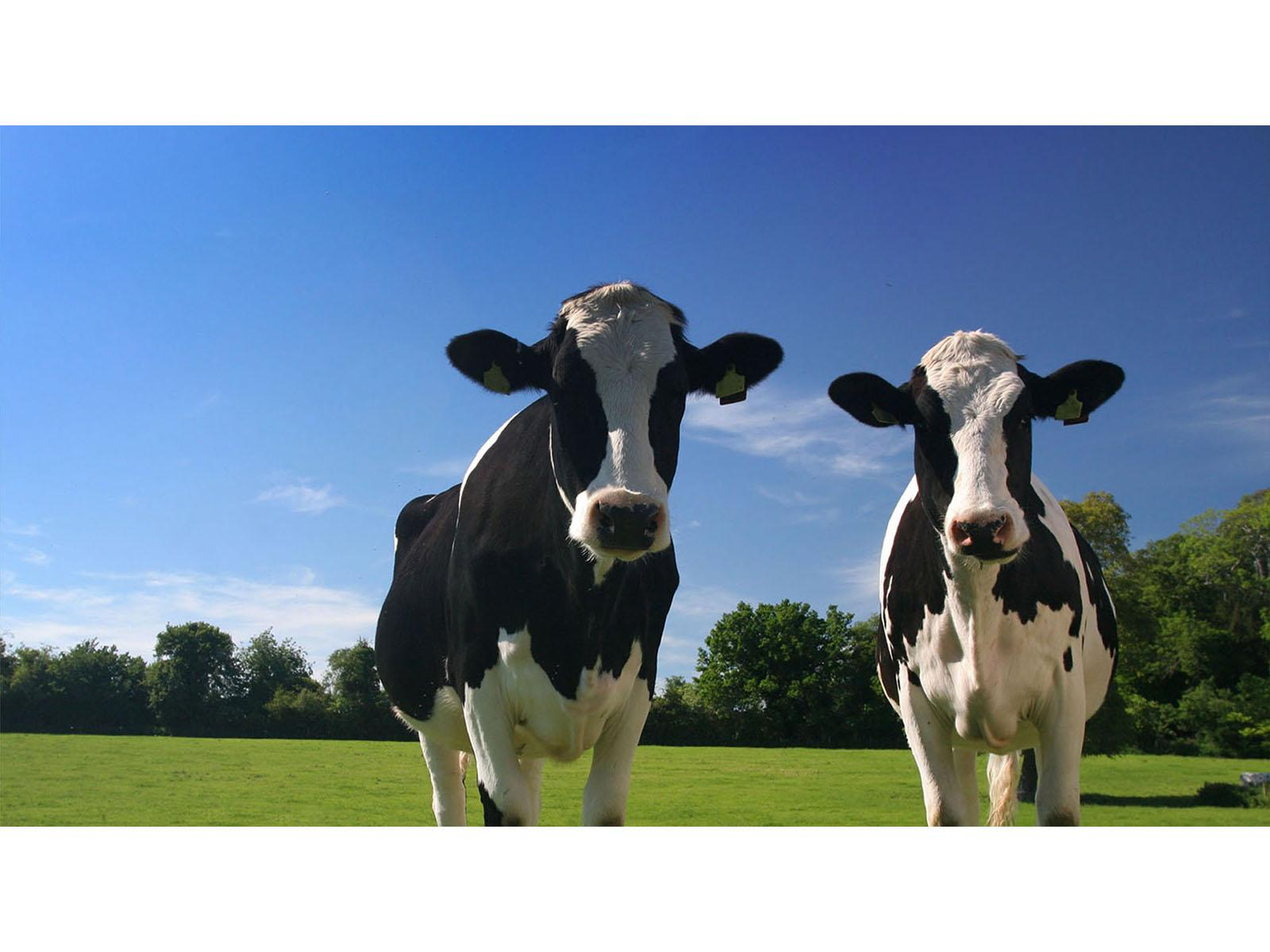 Slide 1 koeien