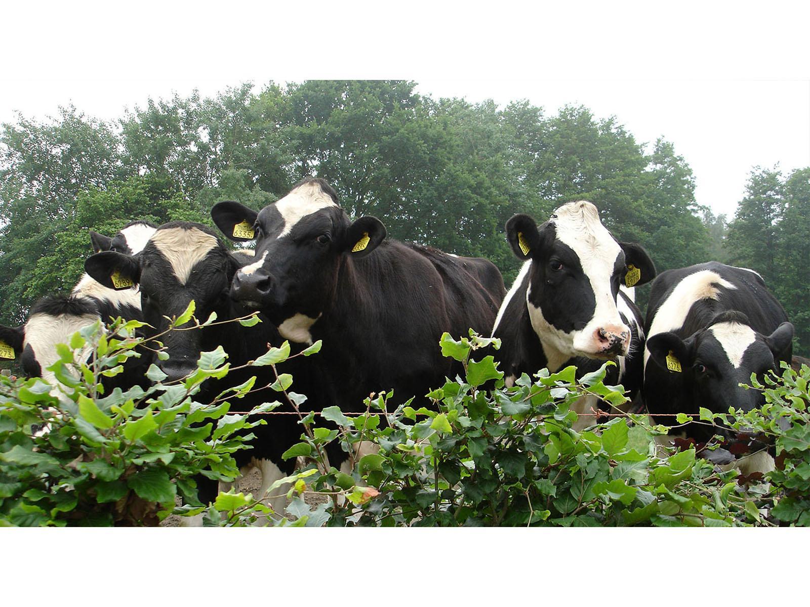Slide 3 koeien blaadjes